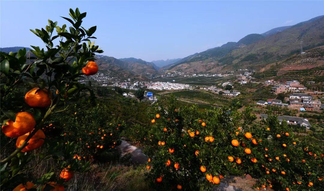 古蔺县甜橙挂果
