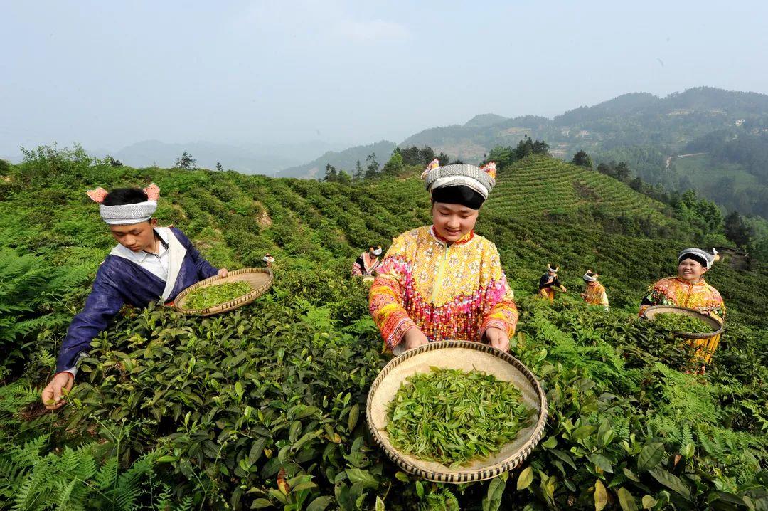 古蔺肉牛产业、茶叶产业